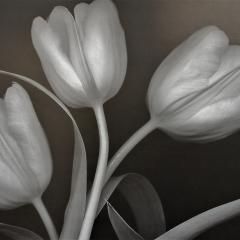 Tulips   $32