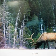 Bull Elk   $25